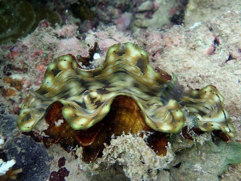 jul 09 2624 giant clam