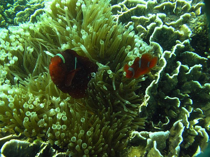 jul 12 5709 clown fish