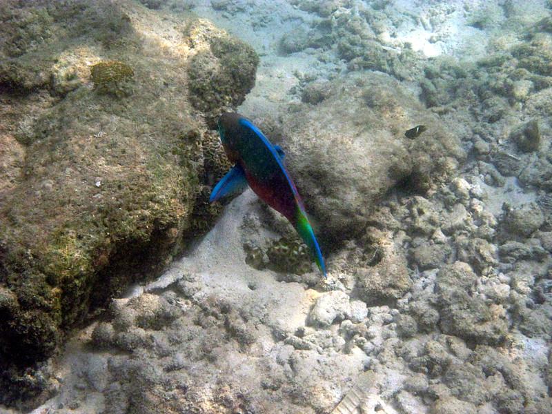 jul 12 5735 parrot fish