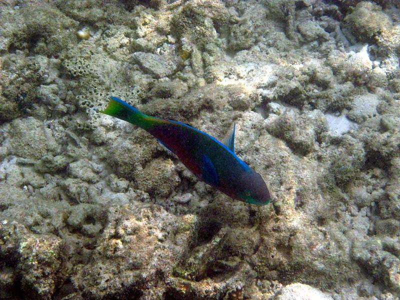 jul 12 5739 parrot fish