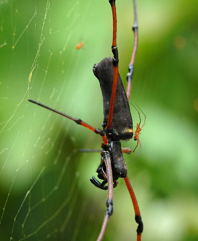 jul 14 2505 male and argyrodes