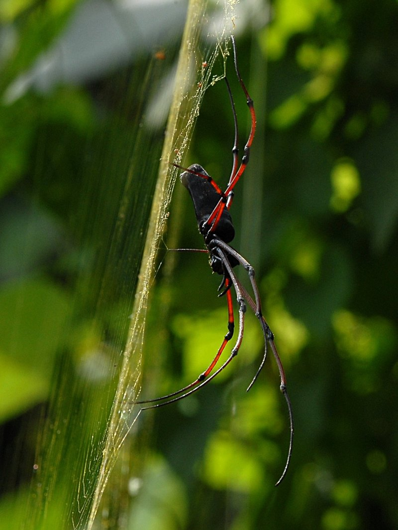 jul 14 2762 nephila 2 morning sun golden silk