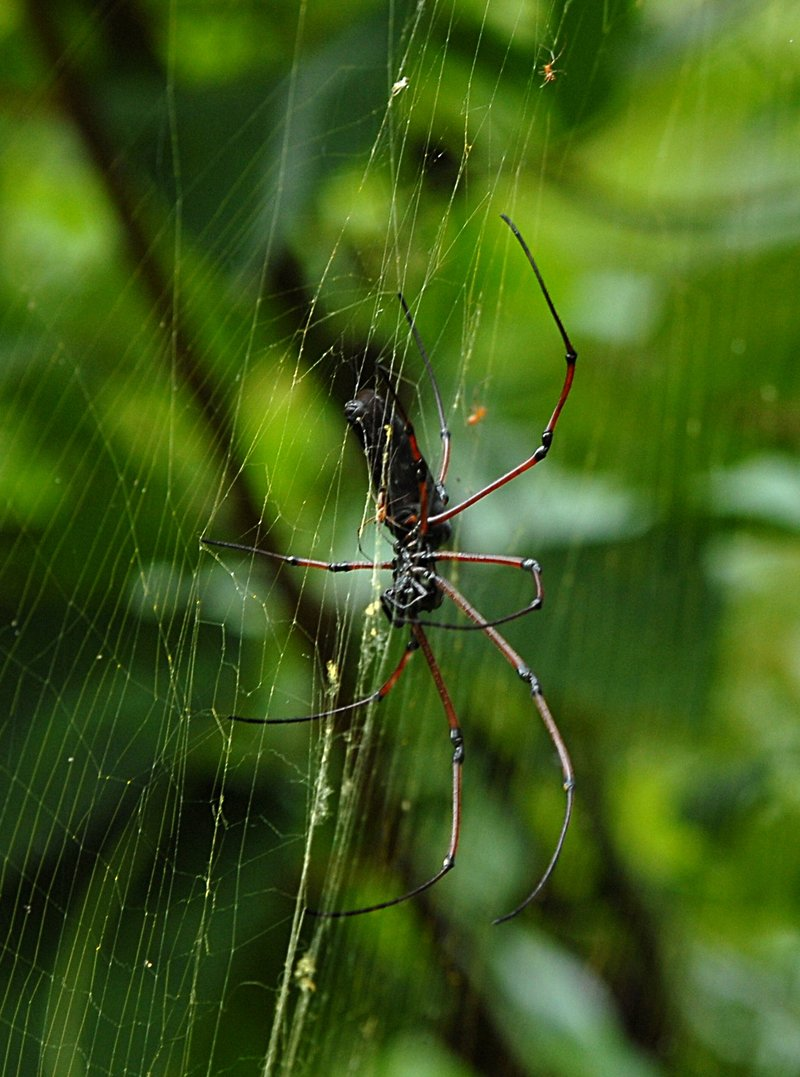 jul 14 2870 nephila 2 mating