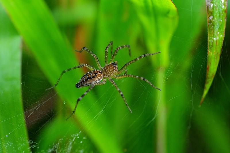jul 24 8841 funnel web spider