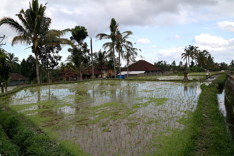 jul 25 1485 new rice