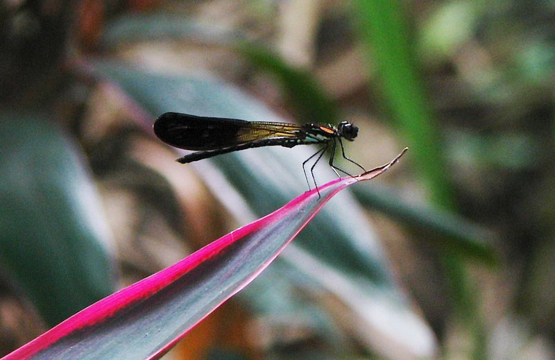 jul 27 4869 damselfly
