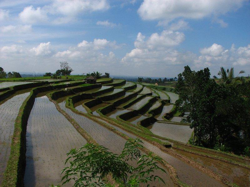jul 28 5804 rice fields
