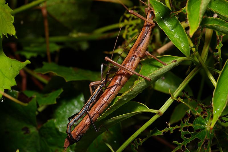 jul 30 5357 stick bug mating