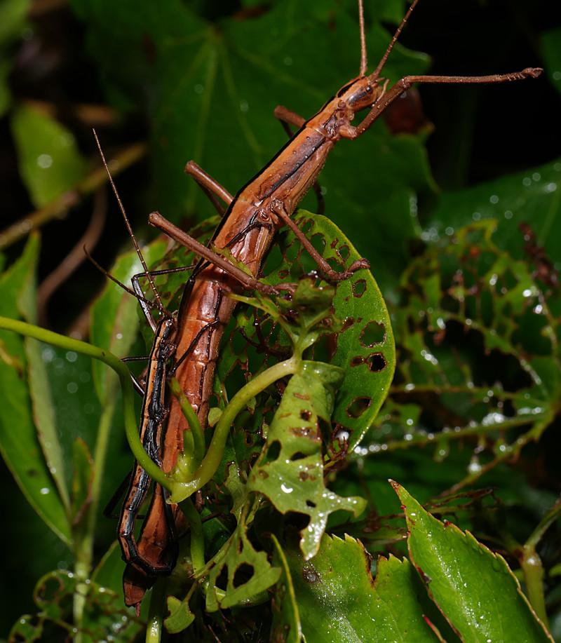 jul 30 5358 stick bug mating