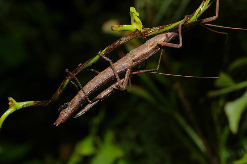 jul 30 5367 stick bug mating