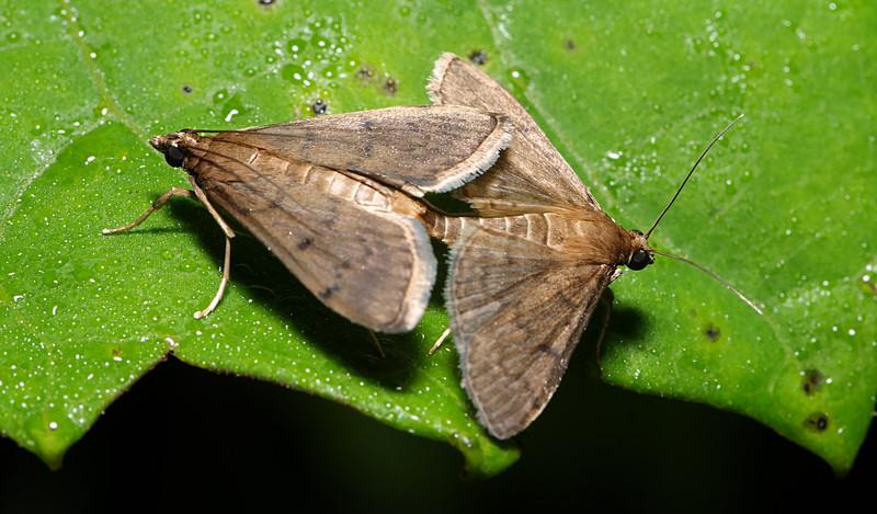jul 30 5370 mating moths