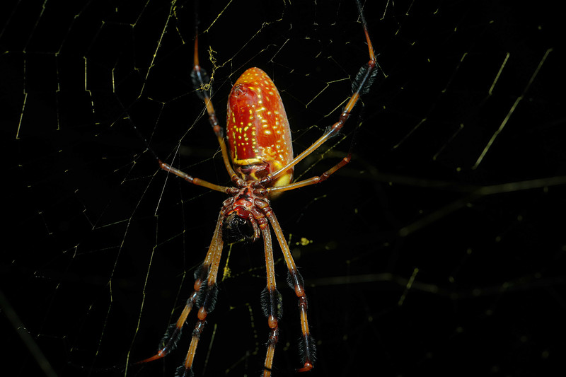 jul 30 5407 female nephila clavipes