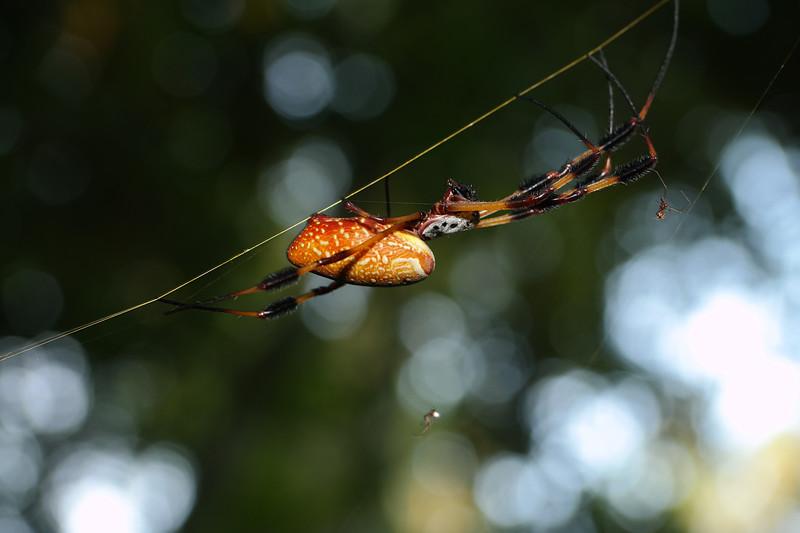 jul 30 5468 nephila golden silk