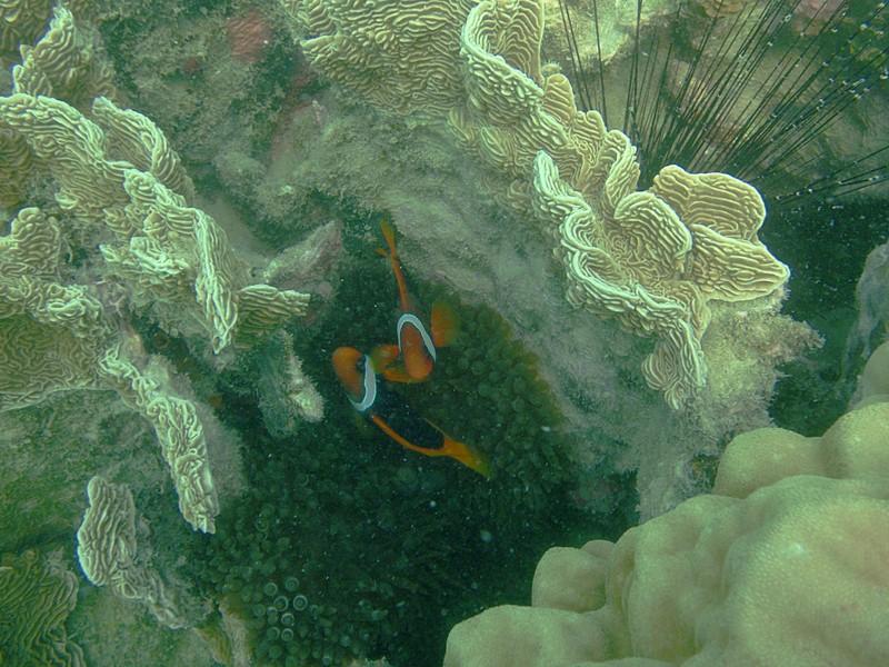 clown fish essay