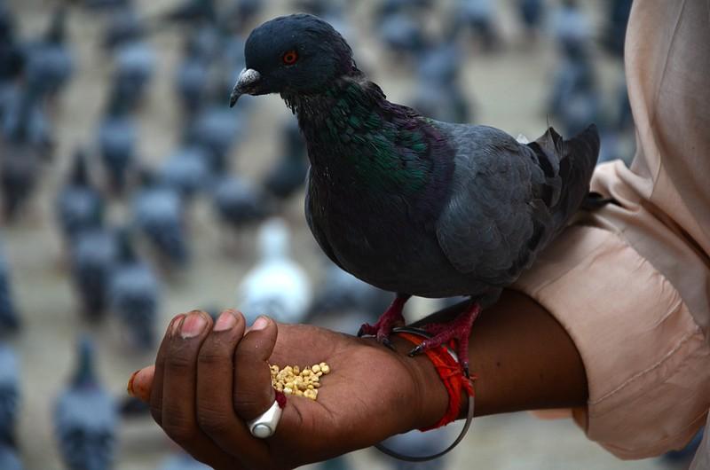 jul 31 2411 pigeon