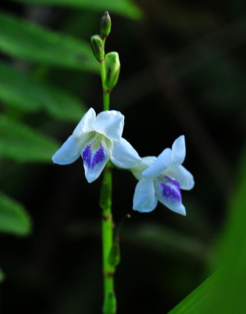 jul 31 8906 micro orchid