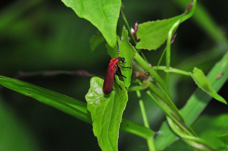 jun 06 7238 red bug