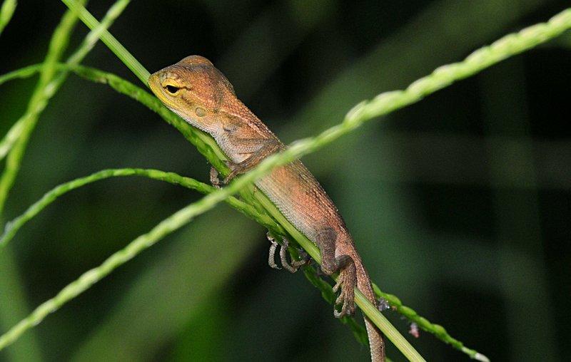 jun 06 7260 lizard