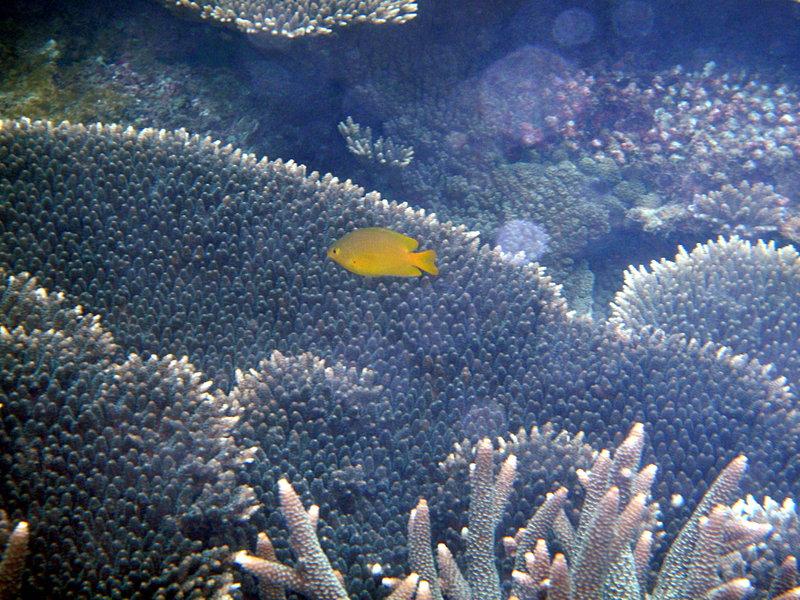 jun 09 0778 coral yellow fish