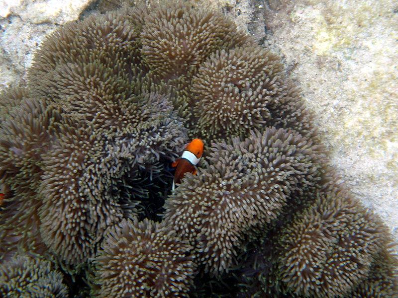 jun 09 0871 clown fish