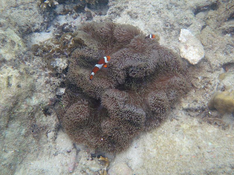 jun 09 0912 clown fish