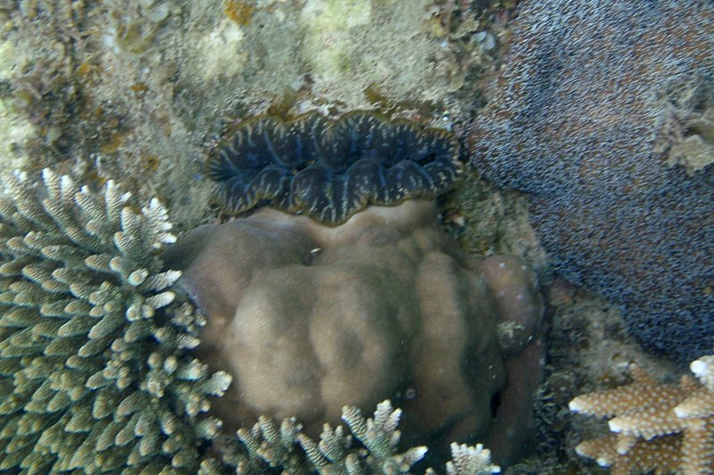 jun 09 0946 giant clam