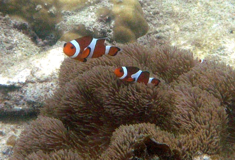 jun 09 1055 clownfish