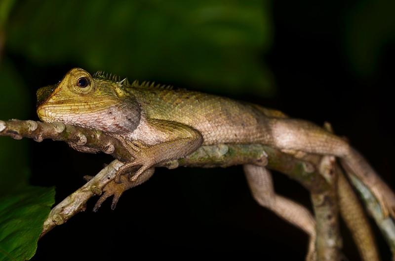 jun 09 5755 resting lizard