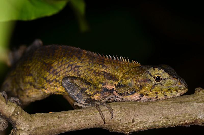 jun 09 5759 sleeping lizard
