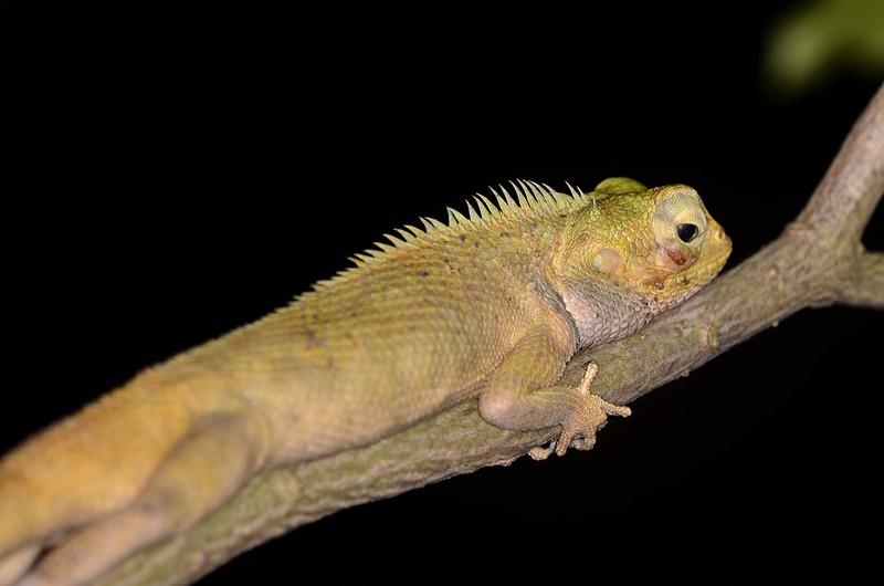 jun 09 5763 lizard