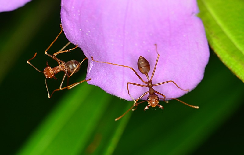 jun 10 5792 melastoma 2 ants
