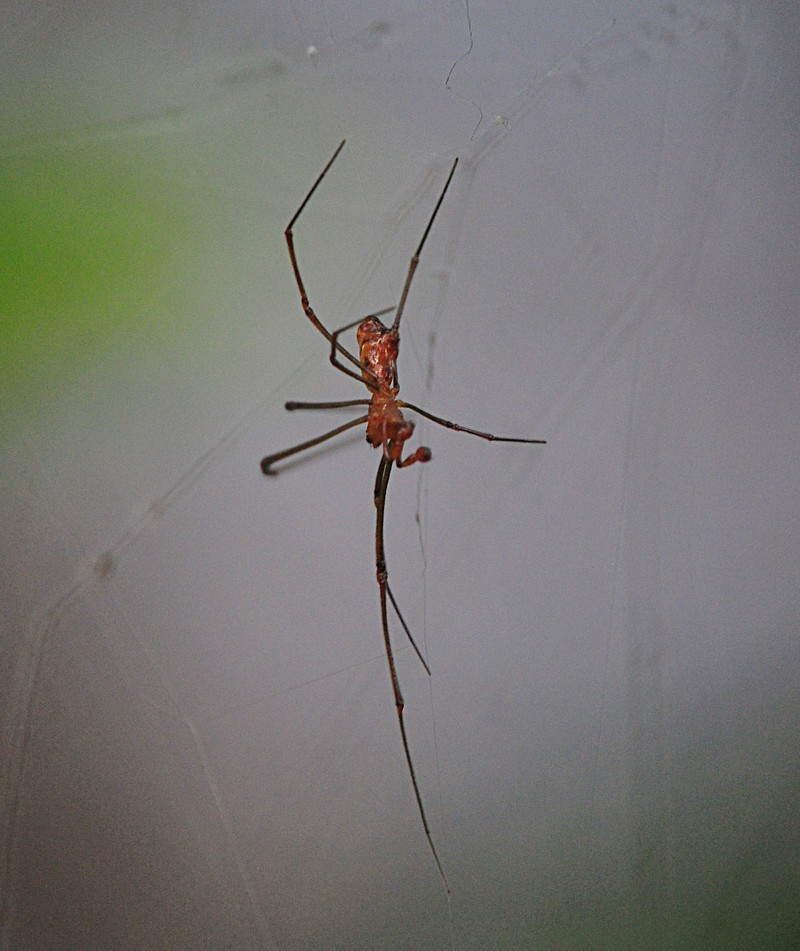 jun 13 8224 argyrodes male