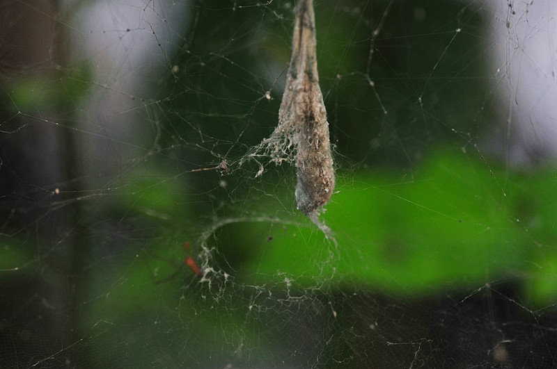 jun 13 8227 cyrtophora web