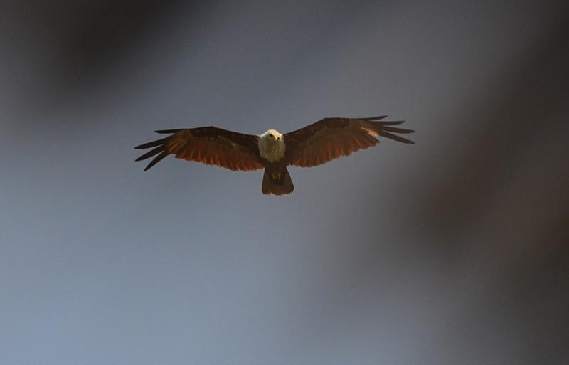 jun 17 6957 red kite hunting