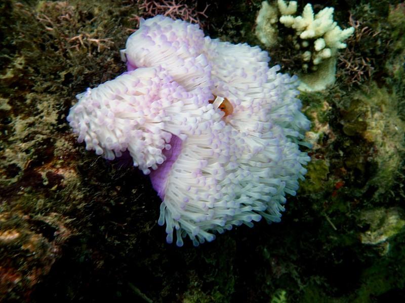 jun 18 1967 clownfish anomene