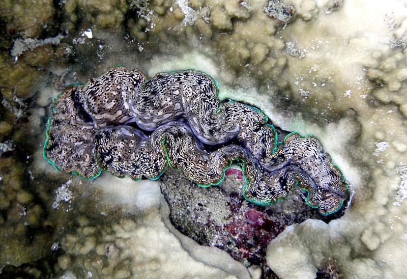 jun 18 2014 giant clam