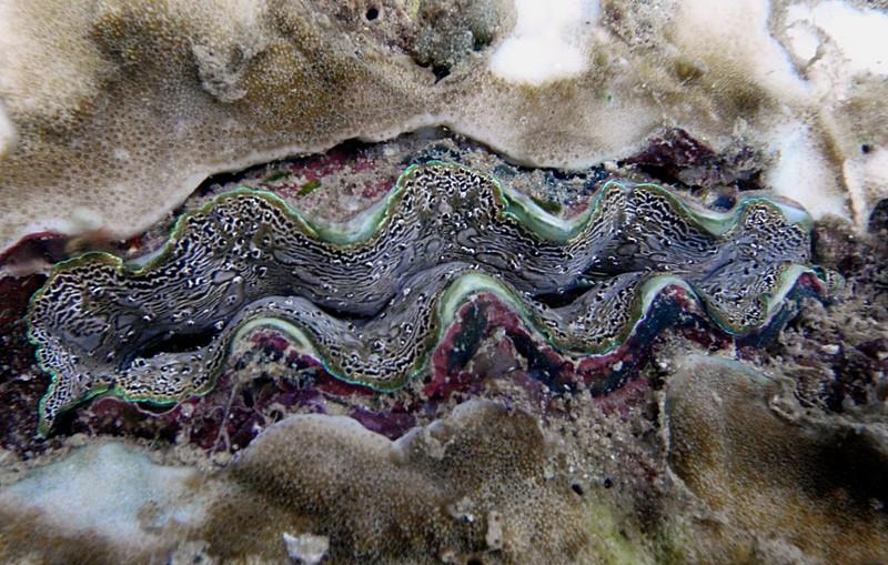 jun 18 2024 giant clam