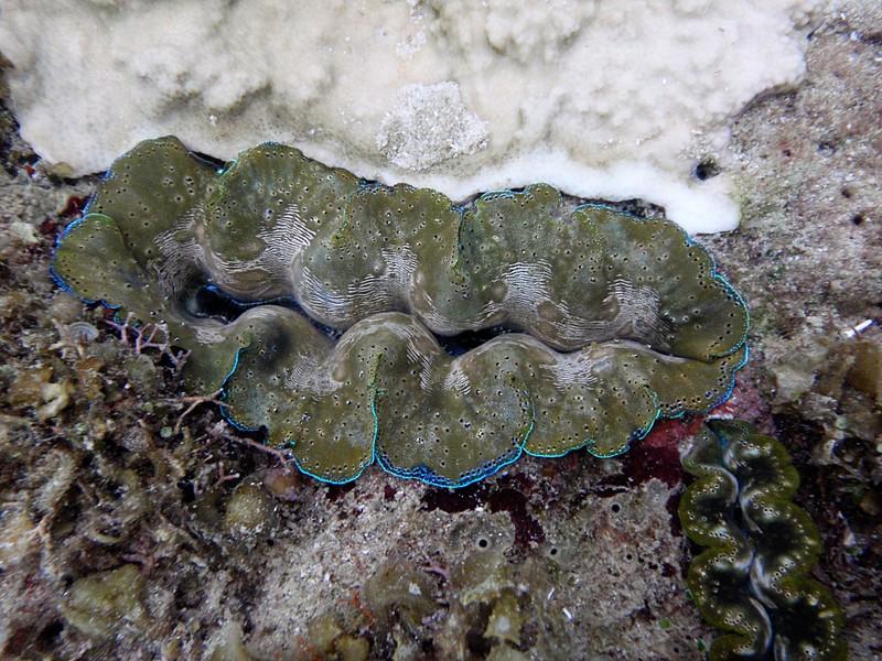 jun 18 2028 giant clam