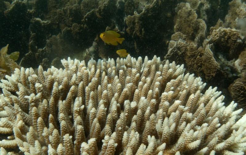 jun 19 2139 yellow fish acrapora
