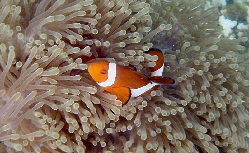 jun 19 2229 clownfish