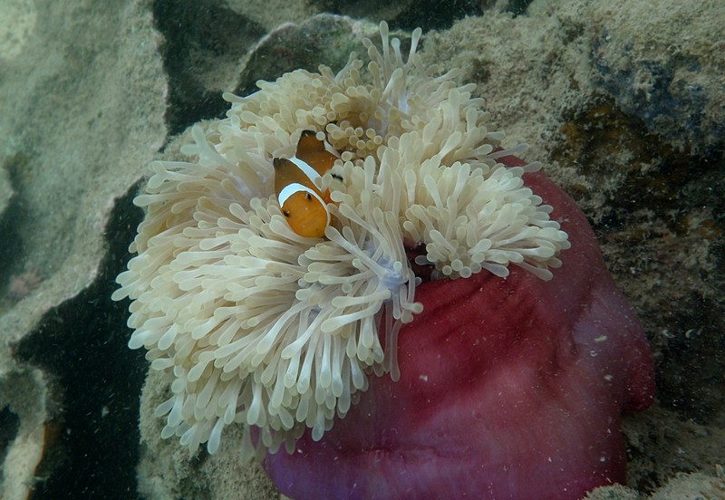 jun 19 2280 clown anemone membrane