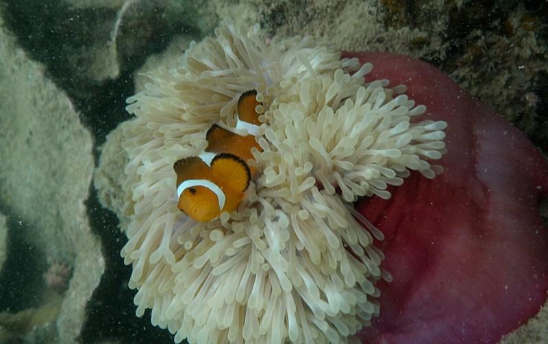 jun 19 2281 clown anemone