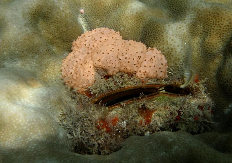 jun 19 2467 pink clam