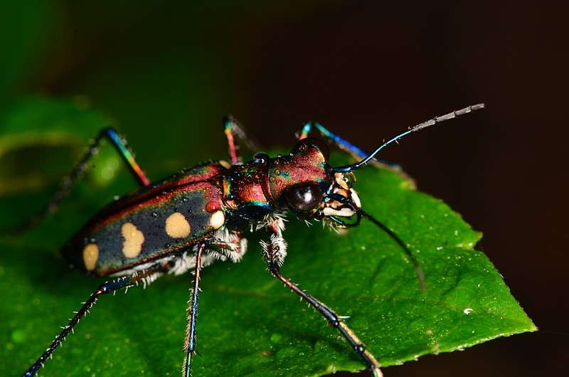 jun 23 7015 tiger beetle