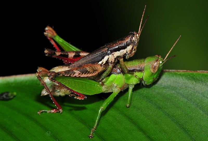 jun 25 8443 mating grasshoppers