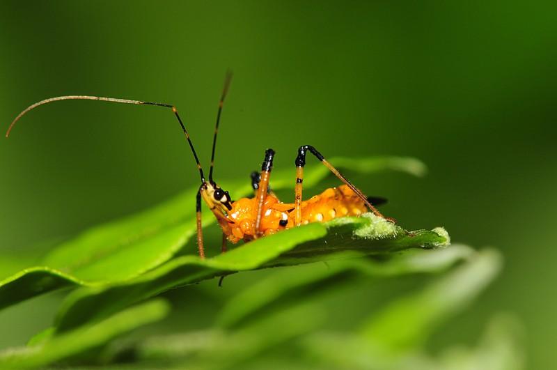 jun 26 8468 assassin bug