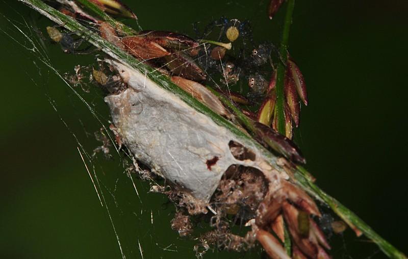 jun 26 8481 spiderlings
