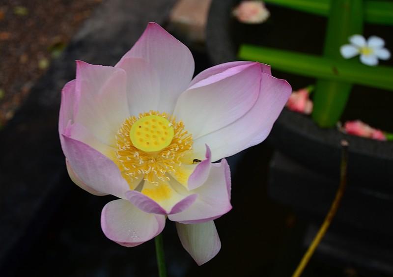 jun 27 9956 lotus