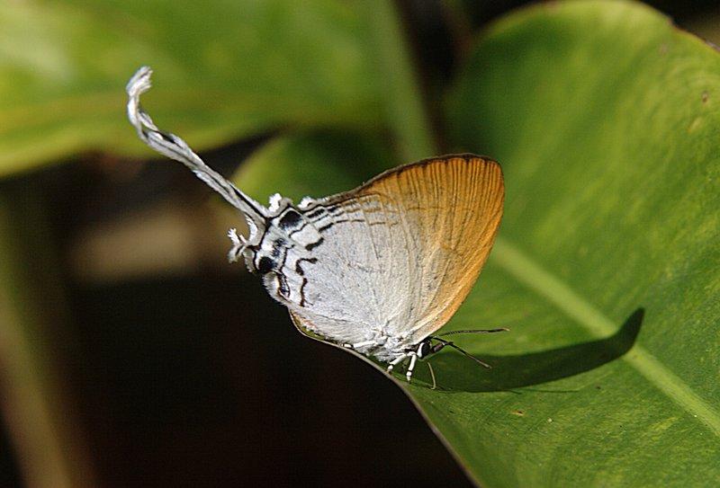 jun 28 5751 long tail butterfly