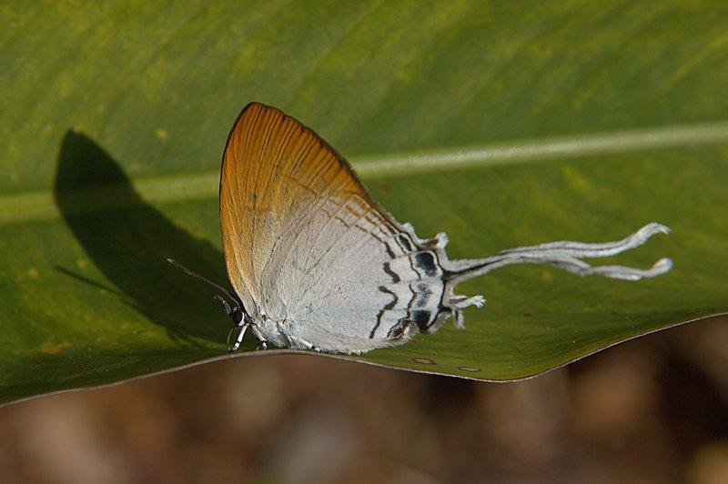jun 28 5764 long tail butterfly